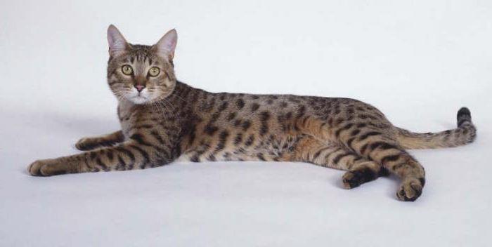 калифорнийская сияющая кошка цена
