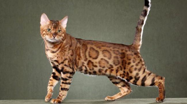 сияющая калифорнийская кошка