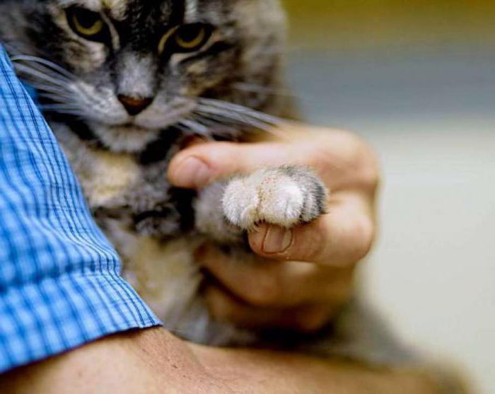 Удаление когтей у кошек отзывы хозяев