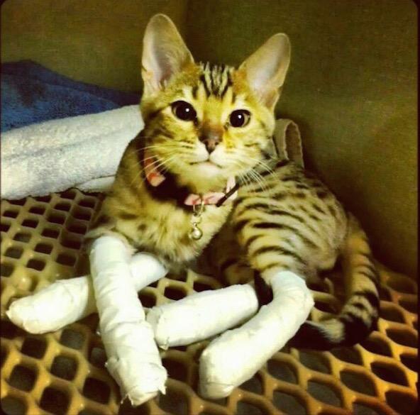 Удаление когтей у кошек последствия