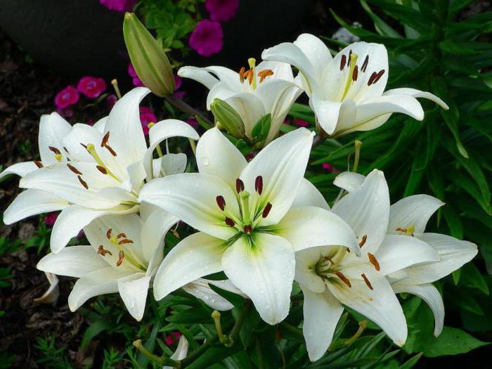 как хранить луковицы лилий до весны