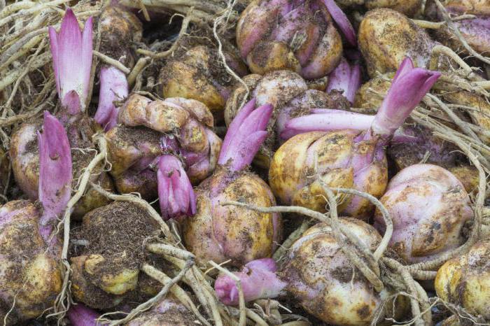 как хранить луковицы лилий зимой в домашних
