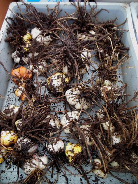 как хранить выкопанные луковицы лилий