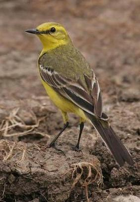 желтая трясогузка фото