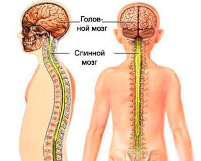 фиксированный спинной мозг