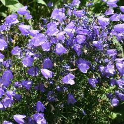 колокольчики цветы многолетние