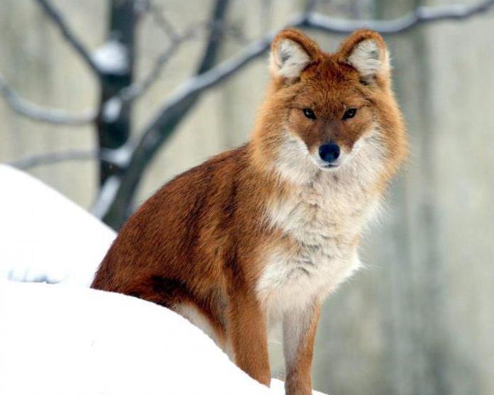 Животные Республики Бурятии