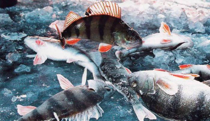 байкал рыбалка на осетра