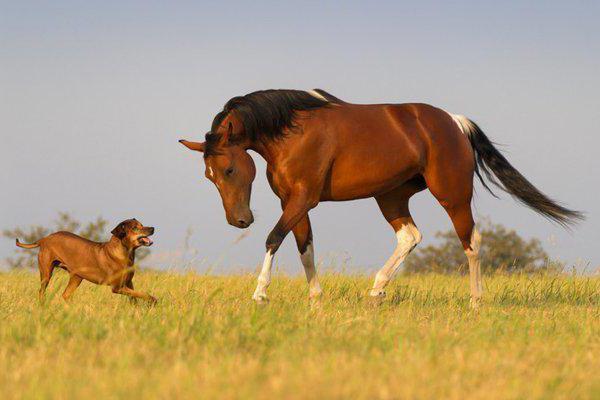 лошадь и собака совместимость