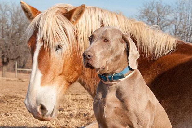 год желтой собаки для огненной лошади