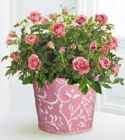 комнатные розы виды фото