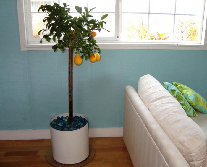 Почему у лимона опадают листья