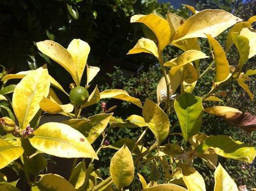 Почему опадают листья у лимона комнатного
