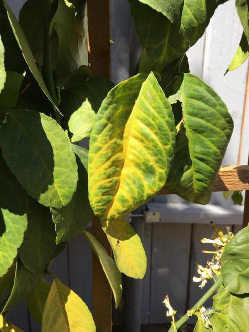 Почему у лимона опадают зеленые листья