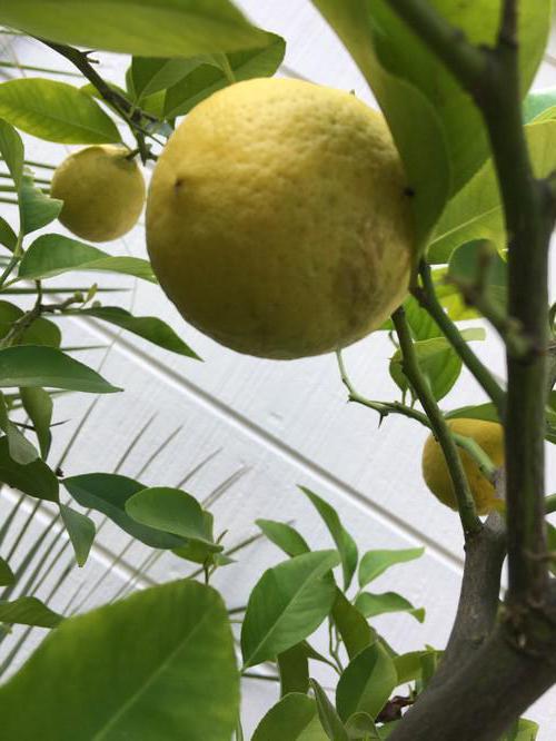 Почему у лимона желтеют листья и опадают