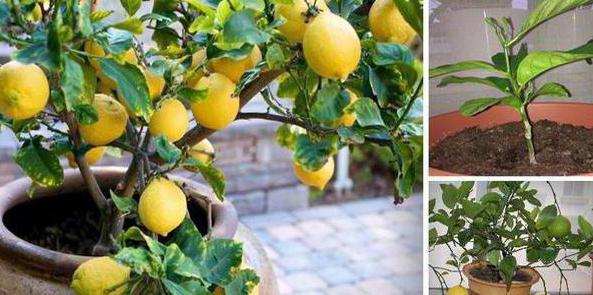 почему у лимона листья опадают