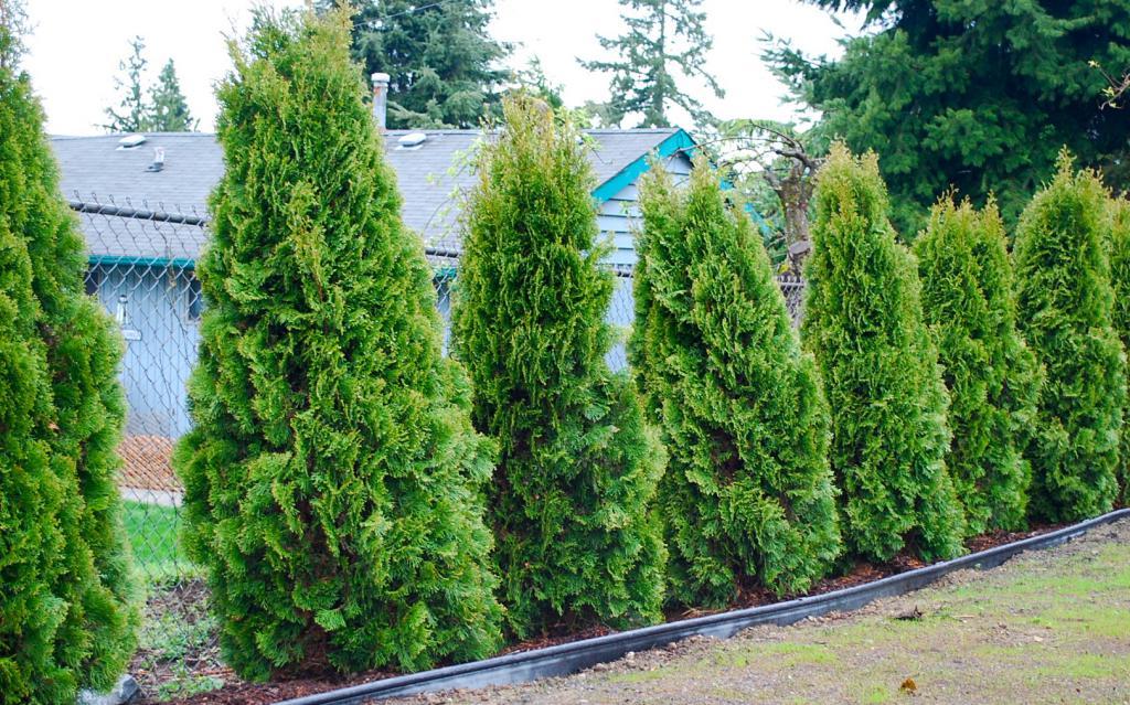 Декоративные деревья на приусадебном участке