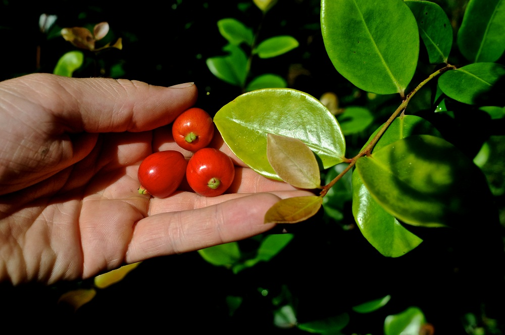Плоды цветка Евгения