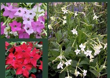 Садовый цветок табак душистый: посадка и уход за растением.