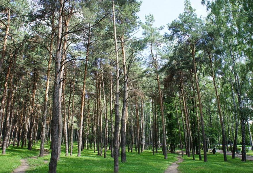 Сосны парка