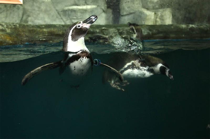 Пингвины в воде
