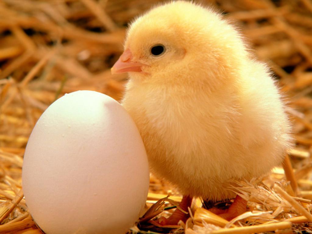Кормовые смеси для цыплят
