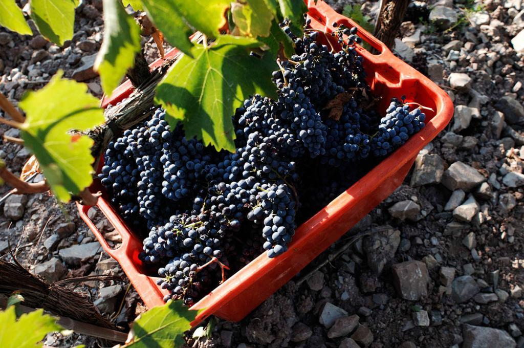 Виноград для вина Брунелло