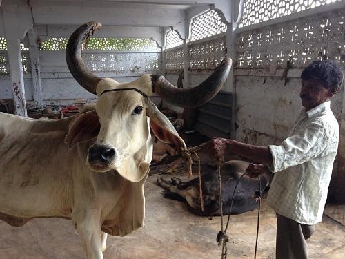 Корова с хозяином