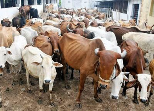 Коровы болеют