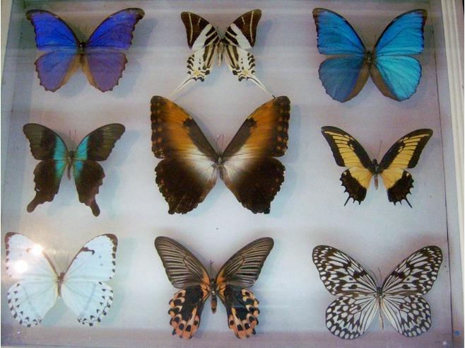 коллекционер бабочек как называется