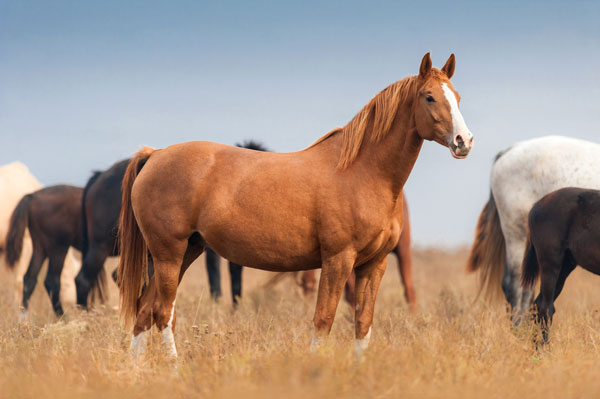 Лошадь в табуне