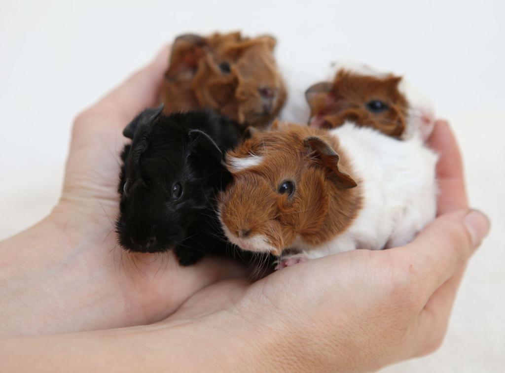 Социализация морских свинок