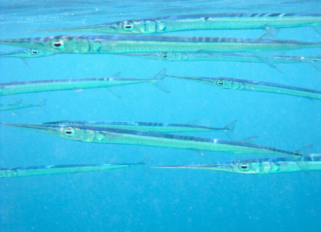 Обычная рыба-игла