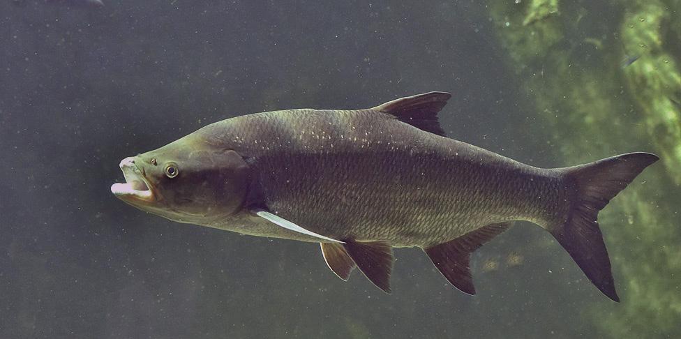 Жерех - мечта любого рыболова