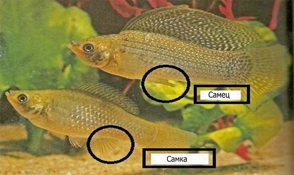 Анатомические отличия самца и самки
