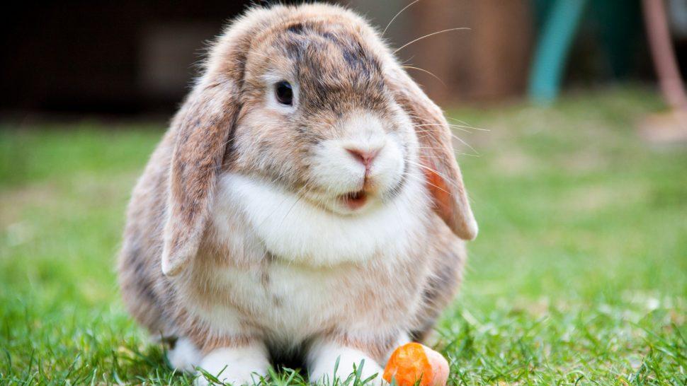 кролик-милота