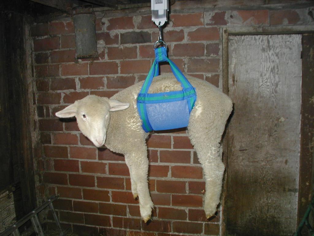 Способы взвешивания овец
