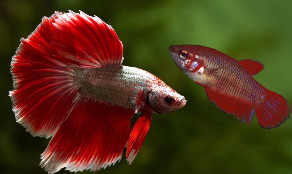 Самец и самка рыбки петушка