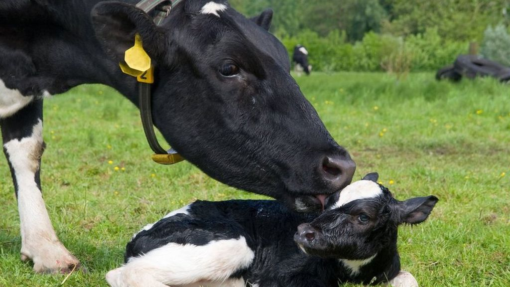 Корова с теленком