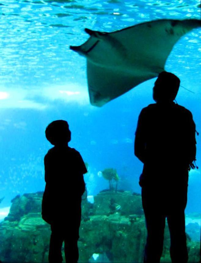 В главном аквариуме живут огромные манты