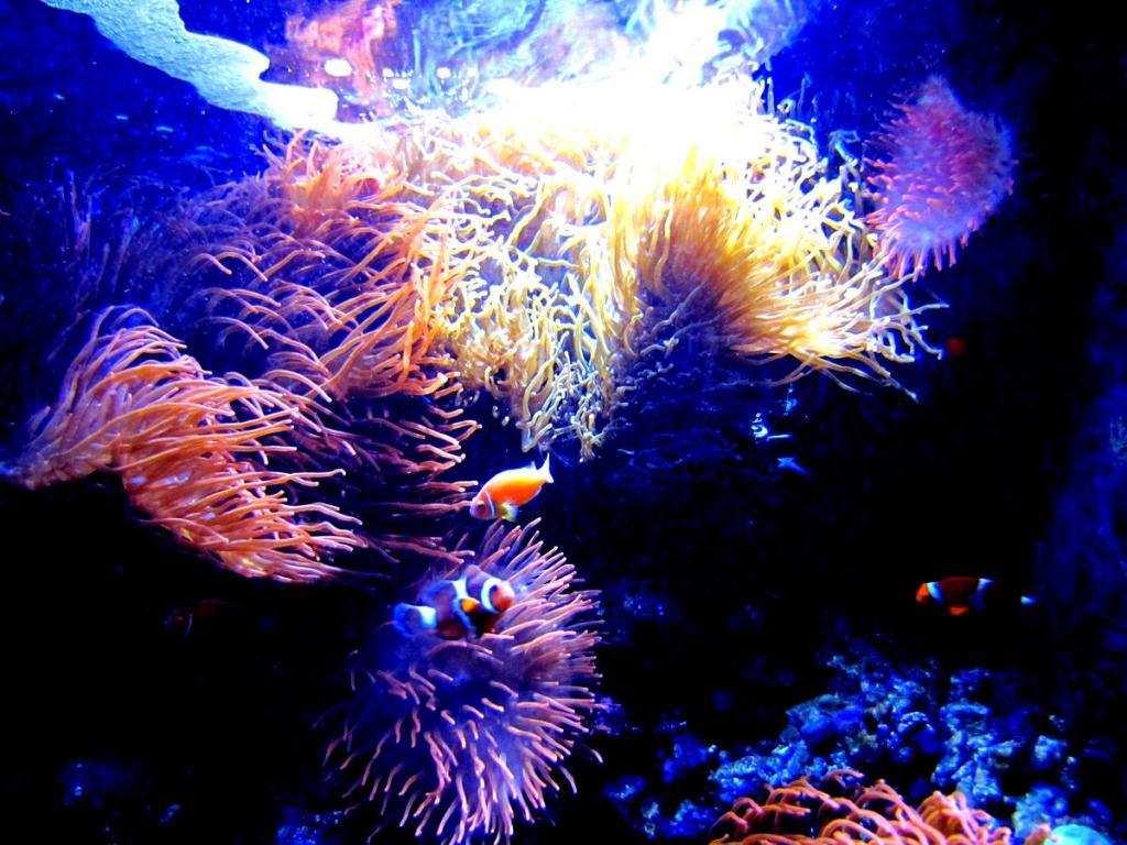 Аквариум с морскими актиниями