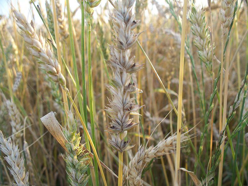 Потери урожая пшеницы