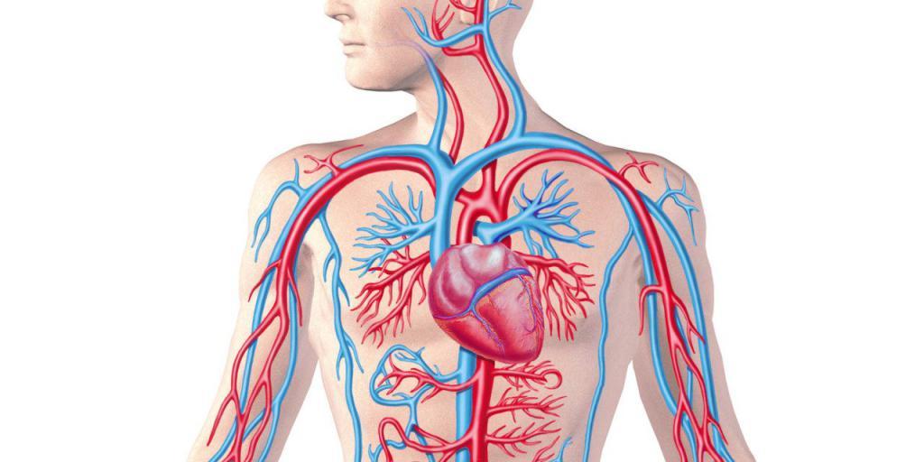 Особенности регуляции кровообращения