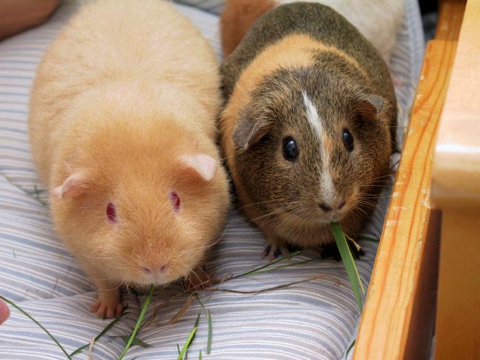 две взрослые морские свинки
