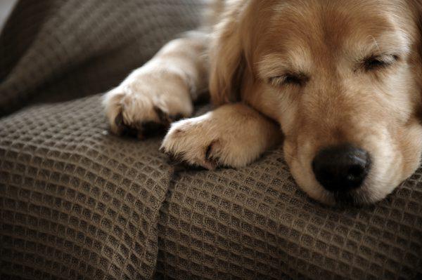 Высокая температура у собаки
