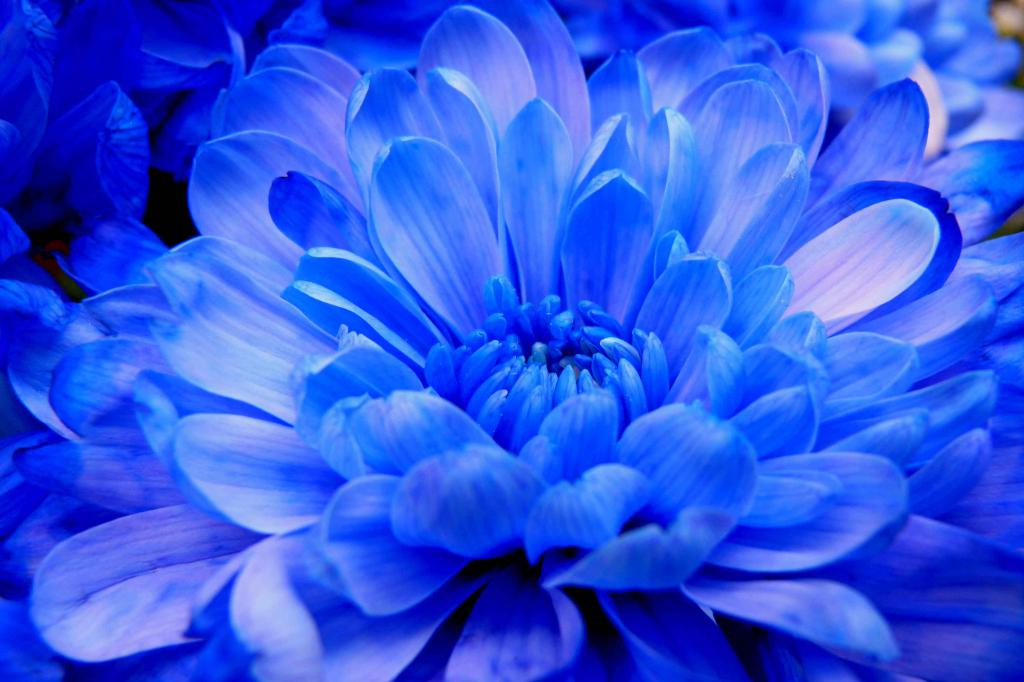 как вырастить голубую хризантему