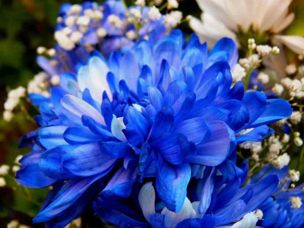 как выглядит голубая хризантема