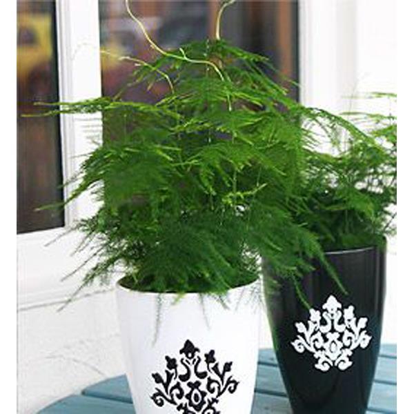 Аспарагус серповидный комнатные растения