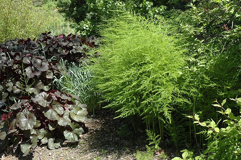 Аспарагус эфиопский meyeri комнатные растения