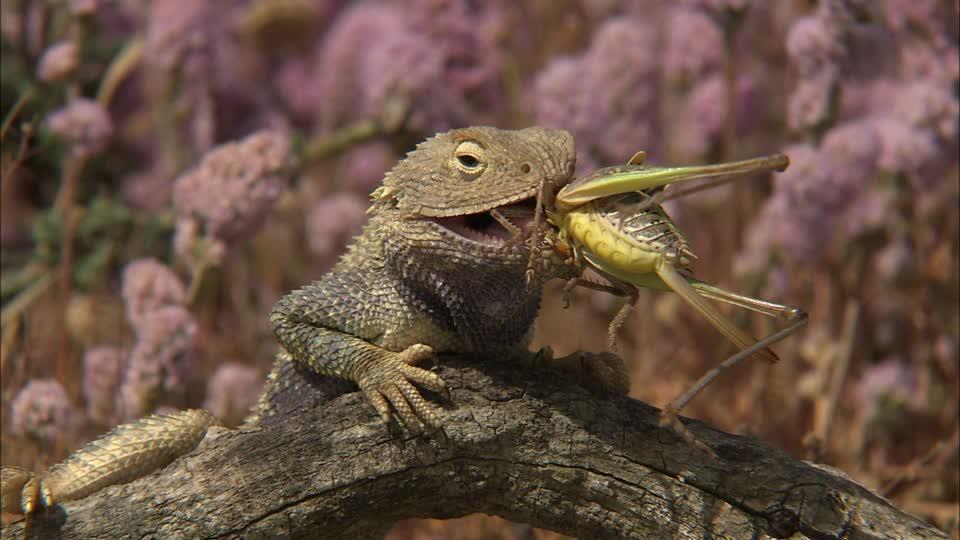 степная ящерица ест